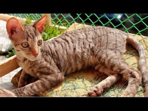 Корниш Рекс, Породы кошек, описание, уход.