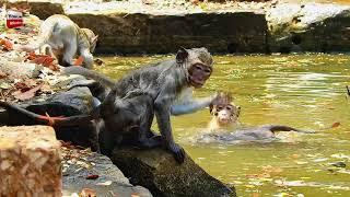 Funny monkeys swimming/ many females fights Dunkey/Bad leader Youlike Monkey 1639