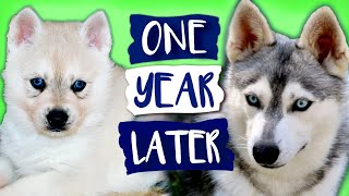 Alaskan Klee Kai Growing Up | Day 1 to 1 Year | Puppy Transformation | Mini Husky Grows Up