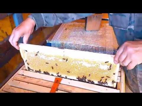Медосбор с подсолнуха(карпатские пчелы).