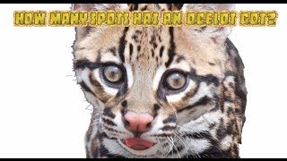 How Many Spots Has An Ocelot Got? An endangered species song about the US