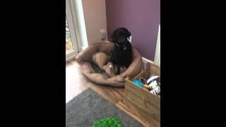 Poppy Dog Training - Loves Treats! Labrador Behaviour.