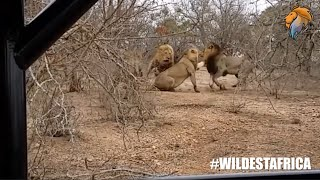 Lion Abandons His Brother in Battle.