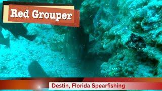 September 20, 2018 - Destin Spearfishing - Red Grouper