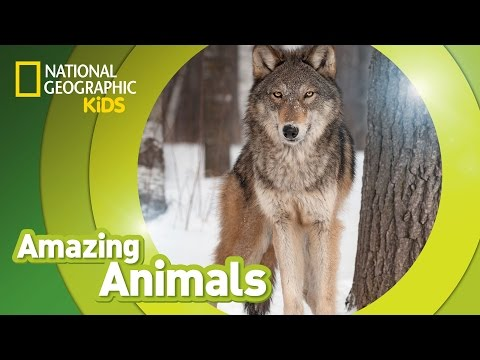 Gray Wolf 🐺  | AMAZING ANIMALS