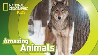 Gray Wolf | AMAZING ANIMALS