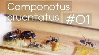 Camponotus cruentatus - 01 - Introduction & Alien-Monster Footage