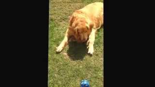 Golden Retriever Barking At His Ball