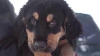 видео Бурят-Монгольский Волкодав (Хоттошо). Порода собак.