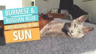 Relaxing Video  Burmese Cat and Russian Blue Kitten enjoying the sun