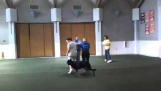 Bliss - Novice Obedience Figure 8 At Our First Show & Go