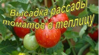 Посадка ТОМАТОВ  в теплицу.  Высокорослые сорта(Всем привет, в этом видео поговорим с вами, а точнее покажем, как мы высаживаем помидорную рассаду в теплицу..., 2013-05-18T13:02:46.000Z)