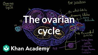 The ovarian cycle | Reproductive system physiology | NCLEX-RN | Khan Academy