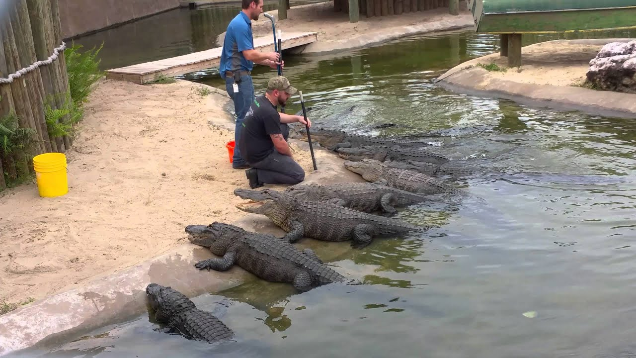 Alligator feeding at bass pro shop palm bay fl youtube for Vero beach fishing pier
