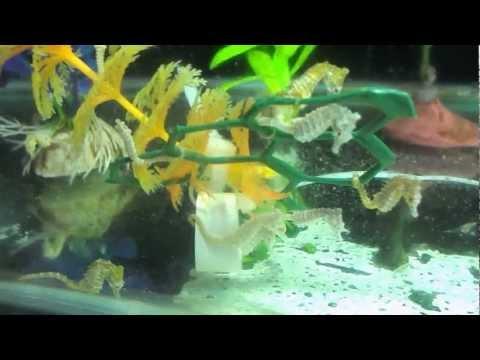 Dwarf seahorses at simplyseahorses