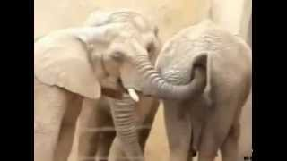 فيل يدخل خرطومه في مؤخرة فيل آخر