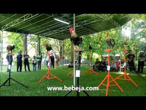 Kontes Ayam Ketawa (KAKNAS) IPB 2016