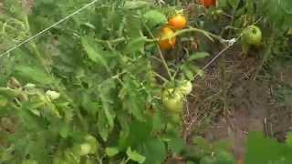 Характеристики и краткое описание сорта томатов Хурма