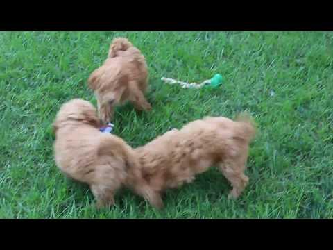 Mini Labradoodle and Mini Goldendoodle