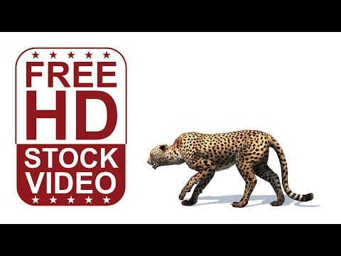 100% FREE HD videos – animal animations   cheetah walking on white background with shadows –  seamle
