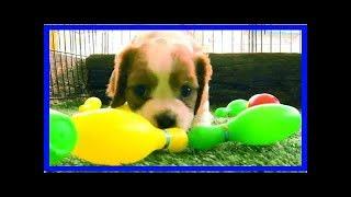 Hundewelpen spielen mit Plastikkegeln