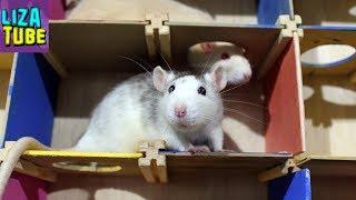 Лабиринт для крысок Соревнование девчонок в лабиринте Звездочка и Белочка 🐀🐁 Кто победит?