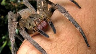 Repeat youtube video Absolute Deadliest Spider Bites on Earth!