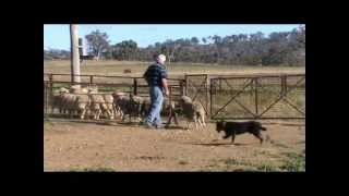 Wyreema Kelpie Stud Young Dog Training