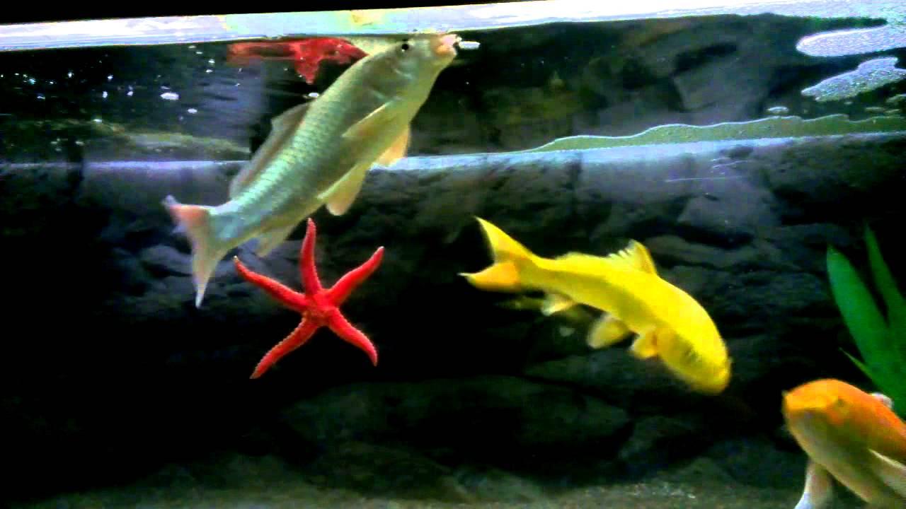 Koi aquarium youtube for Koi pond aquarium