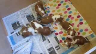 Welsh Springer Spaniel Puppies - Two Weeks Old