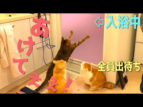 飼い主がお風呂に入ってる間待ち続ける猫達が可愛すぎたwww