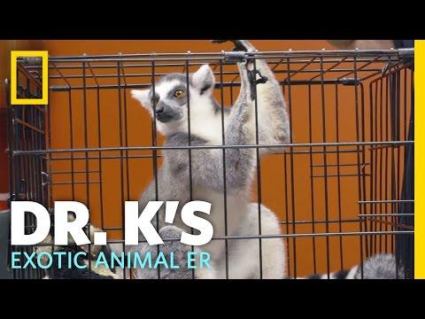 A Little Bit of Lemur Love   Dr. K