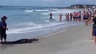 VIDEO Alligator found on Pawleys Island, South Carolina