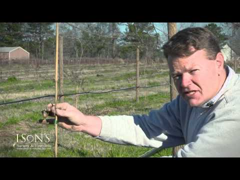 Ison's Nursery How to Plant a Muscadine Vine Instructional