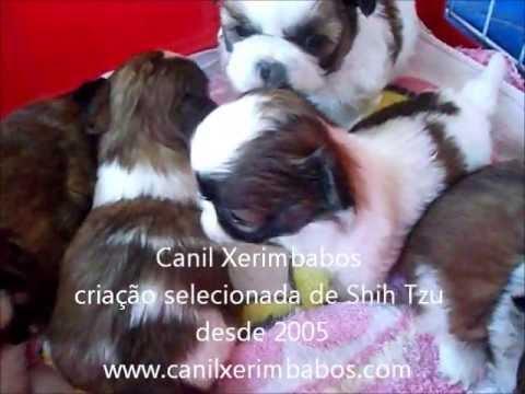 Filhotes De Shih Tzu Porto Alegre RS, Canil Xerimbabos