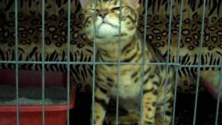 Bengal Cats at a Cat Show Thumbnail