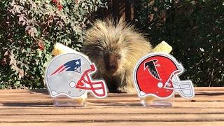 Teddy Bear the Porcupine Predicts Super Bowl 51