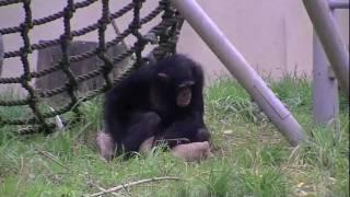 円山動物園のチンパンジーたち。 レディが足のケガの治療のため、1日入...