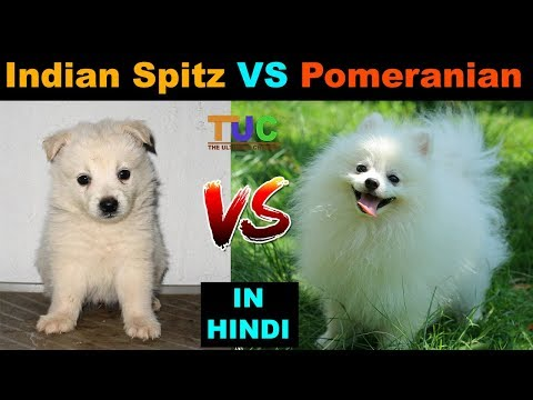 Indian Spitz vs Pomeranian : Dog VS Dog : TUC : The Ultimate Channel