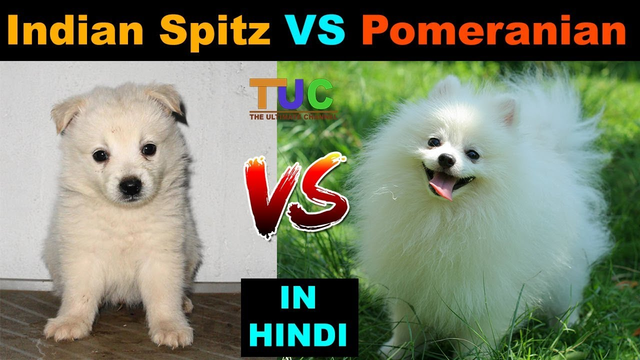Indian Spitz Vs Pomeranian Dog Vs Dog Tuc The Ultimate Channel