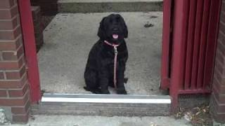 Gwennie The Portuguese Water Dog Shows Off Her Good Behavior - Chicago Dog Training