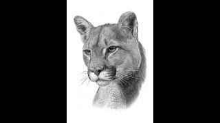 How to draw Cougar mountain lion drawing step by step