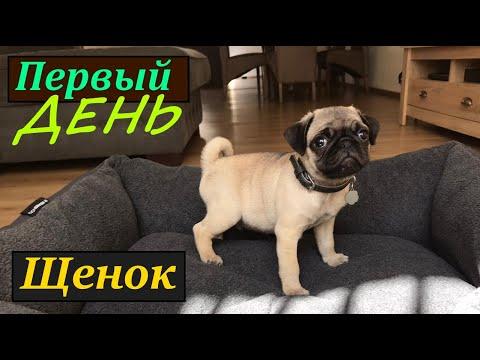 Щенок МОПСА, первый день дома, воспитание щенка.