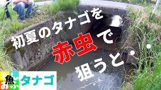 初夏のタナゴは生エサがお好き? 2021夏【タナゴ釣り】Japanese Tanago (bitterling) fishing in the summer of 2021.