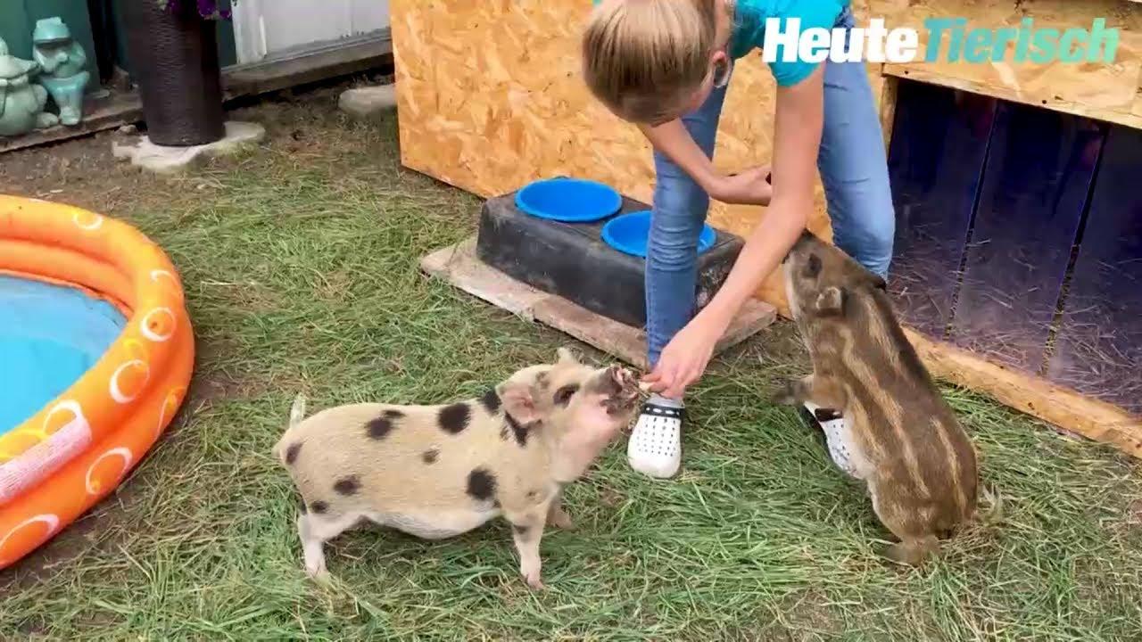 Download Mini-Schweine im Gemeindebau