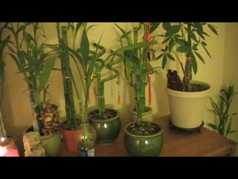 Lucky Bamboo: Yellowing