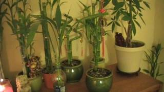 Lucky Bamboo: Yellowing