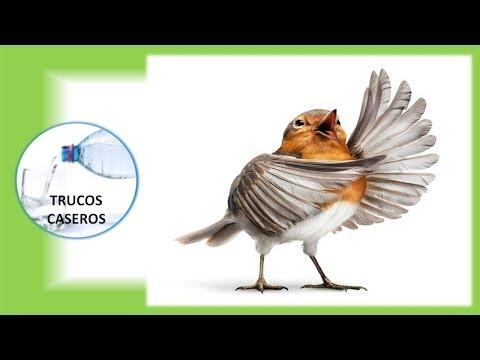 Como enseñar a cantar a tu pájaro con entrenamiento-Trucos para cantar bien.
