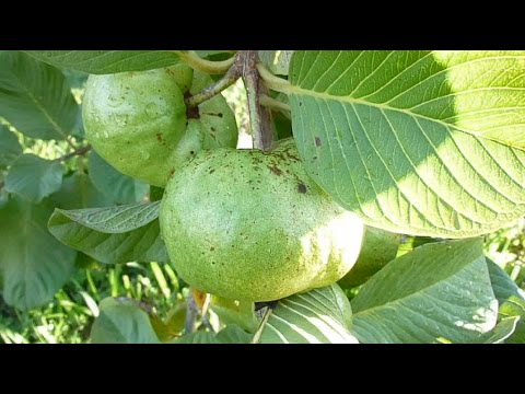 White Thai Guava - Part 3