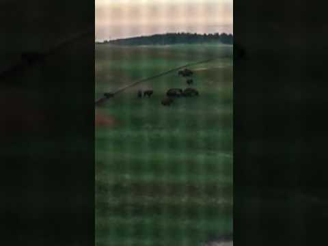 Buffalo on south Dakota ranch